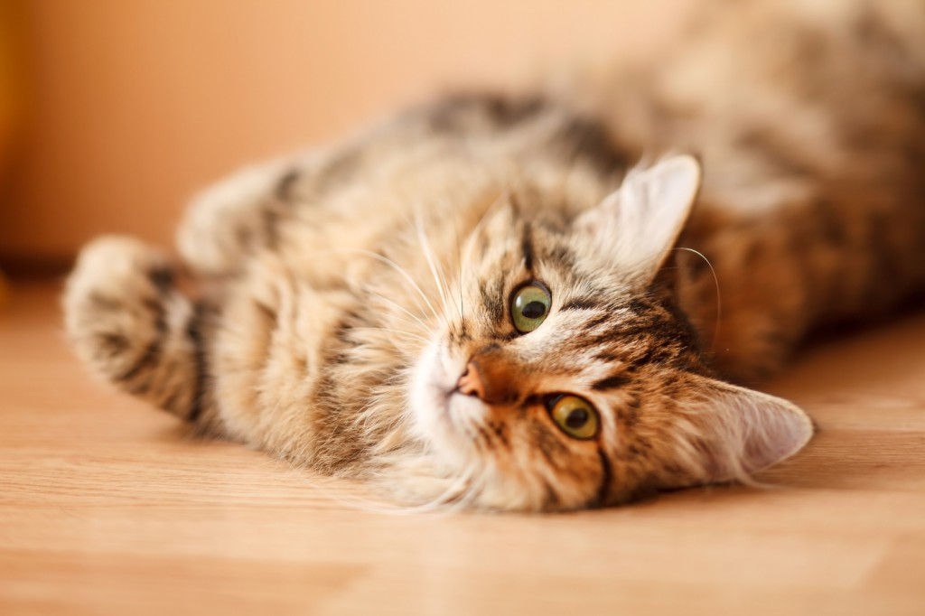 Removing Cat and Dog Hair from Your Home