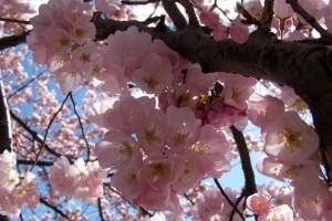 Cherry Blossom Festival 7